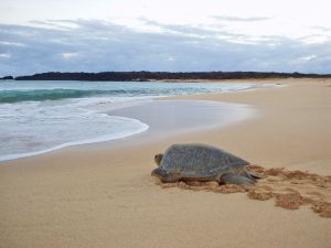 A Green Sea Turtle leaves Ascension Island after completing her ancient ritual