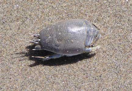 Mole-crab1