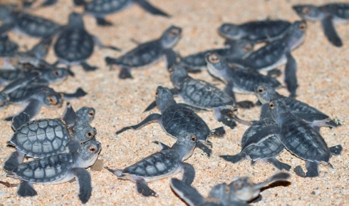 green-turtle-hatchlings-emerging (1)
